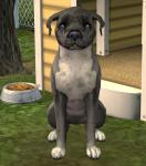 Click image for larger version Name: Eglish Staffordshire Bull Terrier - 01.jpg Size: 80.6 KB