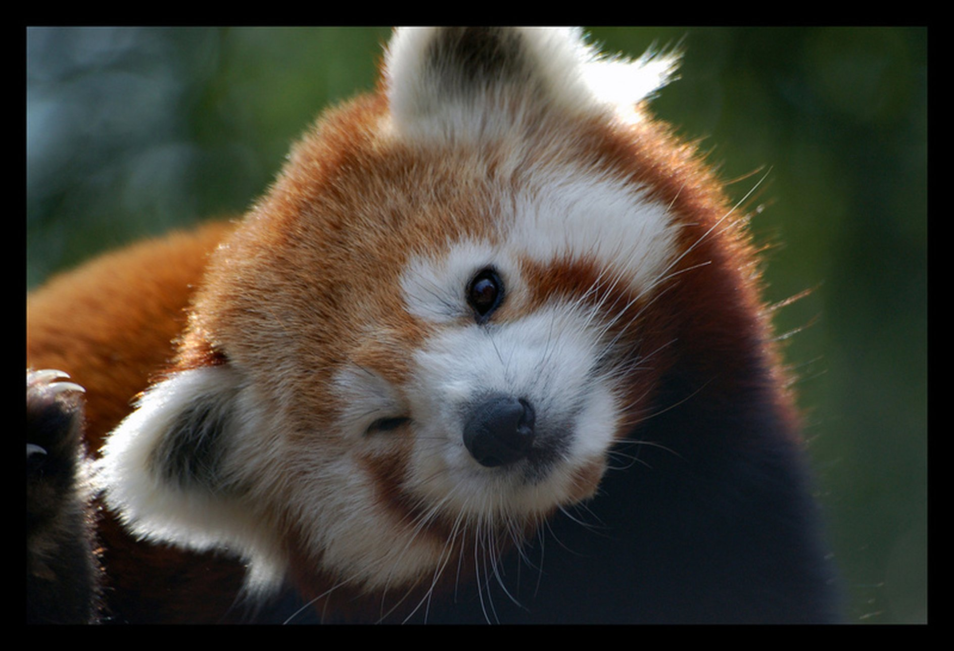 Image of: Ailurus Fulgens Click Image For Larger Version Name Real Red Panda Winkjpg Size 2398 Mod The Sims Mod The Sims The Endangered Redpanda